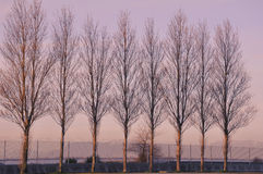Seaside poplar trees Stock Image