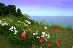 Seaside rose garden Black sea coast Royalty Free Stock Images