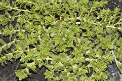 Seaside Sandplant (Honckenya peploides) Royalty Free Stock Photography
