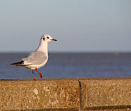 Seaside seawall gull tern Royalty Free Stock Photos