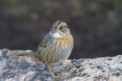 Seaside Sparrow HQ Royalty Free Stock Photo