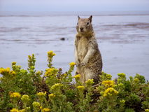 Seaside squirrel Stock Images