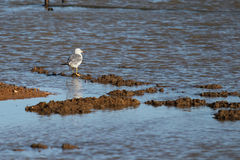 Seaside wetlands seabirds Stock Photos