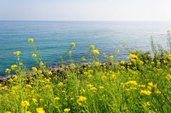 The seaside with yellow rape flowers Royalty Free Stock Image