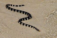 SeaSnake μαύρο και χρυσό στην άμμο στοκ φωτογραφίες με δικαίωμα ελεύθερης χρήσης
