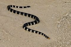 SeaSnake black and gold on the sand royalty free stock photos