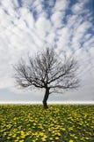 Season. Dry tree  in dandelion fields Royalty Free Stock Photo
