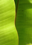 Banana leaves Royalty Free Stock Photos