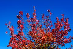 Season change, red autumn leaves with blue sky background. Stock Photo