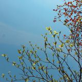 Season change. Red and green leaves between spring and autumn with blue sky for Stock Images
