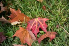 Leaves. Season change. Summer has end, Fall season just arrived. Leaves changing color. Brown, Red and Orange stock photo