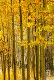 Season changing, first snow and autumn trees. Season changing, first snow and autumn aspen trees in Colorado, USA Stock Images