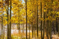 Season changing, first snow and autumn trees. Season changing, first snow and autumn aspen trees in Colorado, USA Royalty Free Stock Images