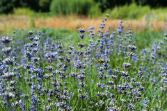 The season of full blooming lavender flowers in the freshness of green park and blue color of the lavender. Close up royalty free stock photography