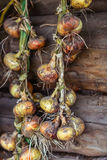 Season of harvest, plaited onions dried on a background of woode Stock Photos