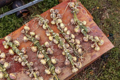 Season of harvest, plaited onions on a rusty background, braided Royalty Free Stock Photo