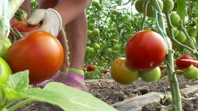 Season for harvesting of vegetables in greenhouse stock video