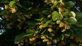 Season of lime blossoming - Close up stock video footage