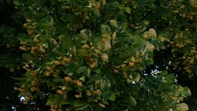 Season of lime blossoming - Close up. Season of lime blossoming stock video
