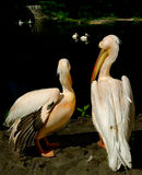 The season of love. A pair of pelicans royalty free stock photography