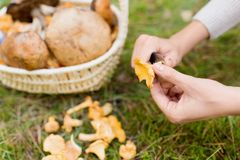 Hands with mushrooms and basket in forest. Season, nature and leisure concept - female hands cleaning chanterelles by knife and basket of mushrooms on grass in royalty free stock photography