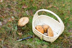 Basket of mushrooms and knife in autumn forest. Season, nature and leisure concept - wicker basket with brown cap boletus mushrooms and knife in autumn forest royalty free stock photo