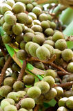 Season of Palm Seeds. A Fruitful Season of Palm Seeds Royalty Free Stock Photography