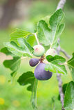Season purple fig. In the garden Stock Images