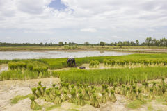 Season rice farmers Stock Photo