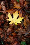 Season's End. A single yellow leaf on the forest floor stock images