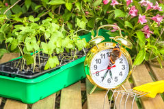 Season spring planting flower seedlings. Container with the seedlings of morning glory flowers, alarm clock, tortoise butterfly,mini-ripper on a wooden table in Stock Image