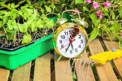 Season of spring planting flower seedlings in the garden. Container with the seedlings of morning glory flowers, alarm clock, tortoise butterfly,mini-ripper on a Stock Photo