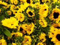 Season for Sunny Sunflowers Royalty Free Stock Images