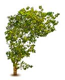 Season tree with green leaves. Vector isolated Royalty Free Stock Photo