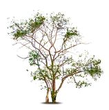 Season tree with green leaves. Vector isolated Stock Image