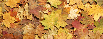 Seasonal autumn background of colorful leaves. Stock Photography