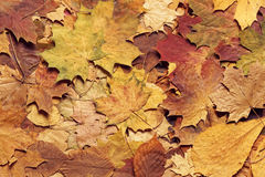 Seasonal autumn background of colorful leaves. Royalty Free Stock Images