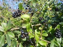 Seasonal autumn blask berry on a bush Royalty Free Stock Photo
