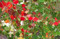 Tree in autumn, red and green leaves royalty free stock photos