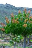 Seasonal blossom of tropical mango tree after growing in orchard on Gran Canaria island, Spain, cultivation of mango fruits on. Seasonal blossom of tropical royalty free stock photo