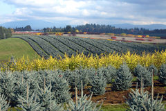 Seasonal changes in a tree farm Oregon. Stock Image