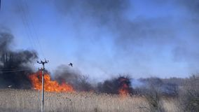 Seasonal disaster, big fire on nature and birds fly against blue heaven. By day stock footage
