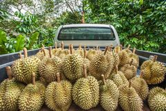 Seasonal durian fruit harvest. Pickup truck in orchard full of fresh durian, the king of fruits in Southeast Asia. Summer season.