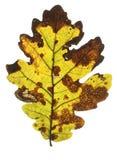 Seasonal fall leaf Royalty Free Stock Photography