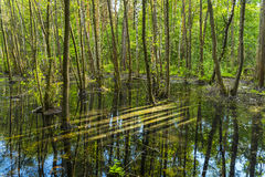 Seasonal flood in green forest reflected Royalty Free Stock Photo