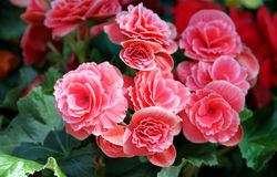 Pink flowers of the Begonia Royalty Free Stock Photos