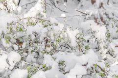 Seasonal forest bush with green leaves covered with snow. On a morning day Royalty Free Stock Images