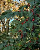 Seasonal holly leaves with red berries Stock Image