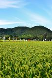 Harvest of rice and scarecrows, autumn in Japan. Seasonal landscape of rice field and line up scarecrows, autumn in Kyoto Japan Royalty Free Stock Images