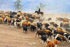 Seasonal livestock migration in Xinjiang China Royalty Free Stock Images